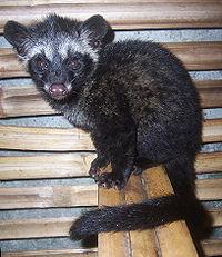 Asian Parlm civet