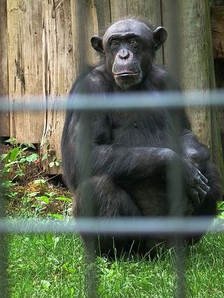 450px-Gewöhnlicher_Schimpanse_Zoo_Landau