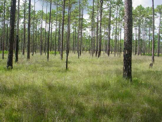 Longleaf habitat