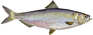 River_herring_2