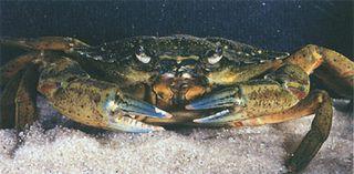 GreenCrab_USGS