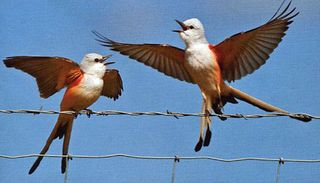 7 scissor tailed flycatchers