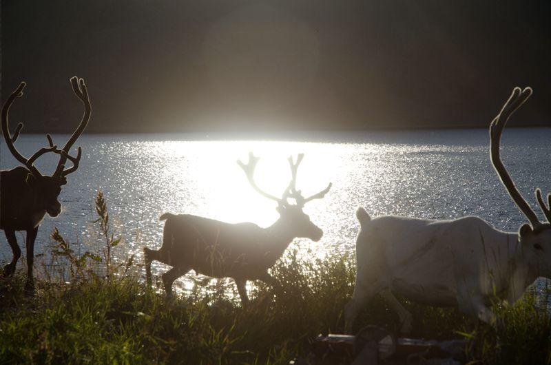 Norway-arctic-37-honningsvåg-reindeer