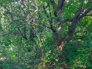 Forest buckthorn choking out oak