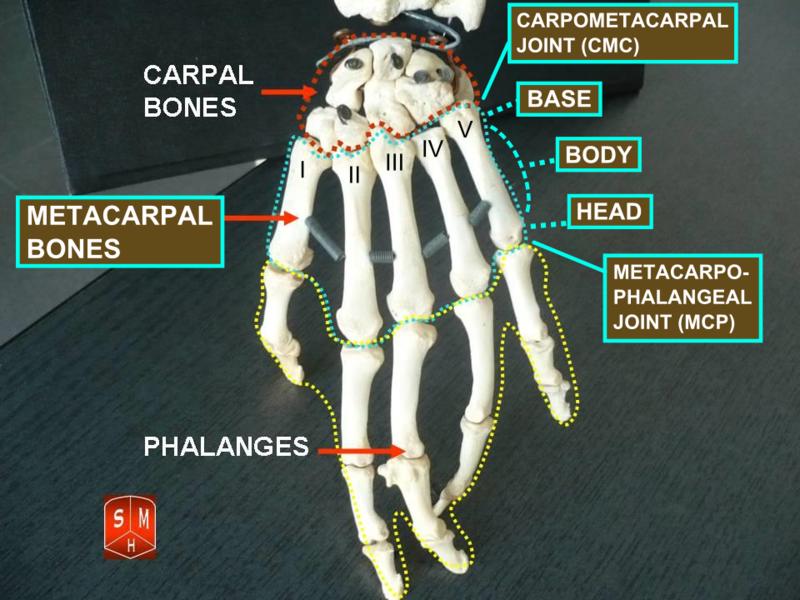 Metacarpal