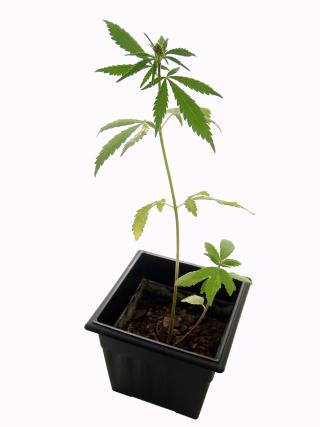Marijuana_plant