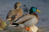 800pxducks_in_plymouth_massachusetts