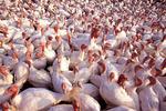 Turkeys_1