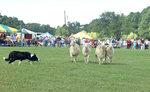 Sheepherding_2