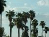 Tempe_palms