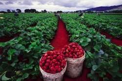 Rapidredstrawberryfields